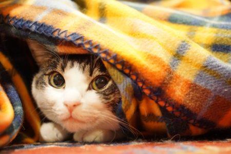 着る毛布で暖まるネコ