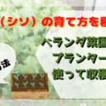 """<span class=""""title"""">大葉(シソ)の育て方!種からベランダ菜園でプランターを使って収穫!簡単レシピや保存法も</span>"""