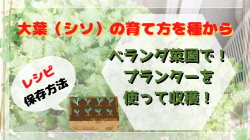 大葉(シソ)の育て方!種からベランダ菜園でプランターを使って収穫!簡単レシピや保存法も